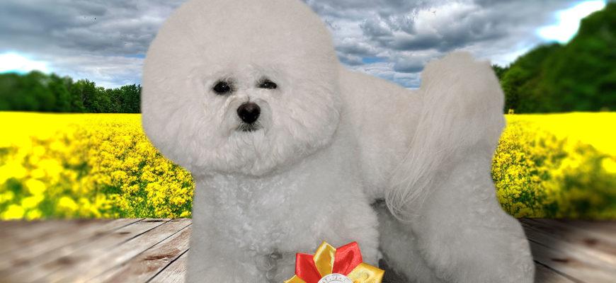 Бишон фризе – фото, описание породы, характер, цена щенков