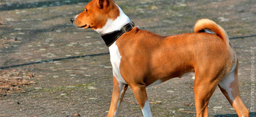 Басенджи цена: на щенков и взрослых этой нелающей породы собак