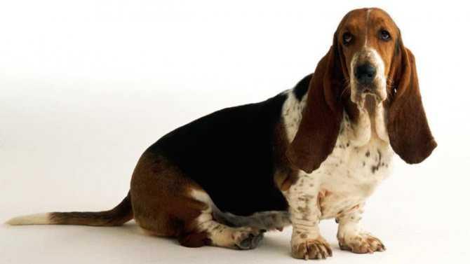 Бассет-хаунд 🐕: описание породы, характер, содержание и уход, фото собаки