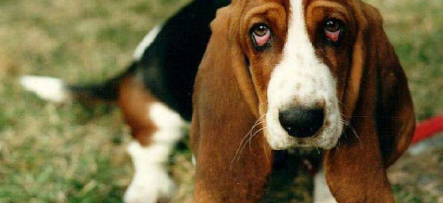 Собака (бассет-хаунд) гадит дома, хотя старые хозяева утверждали что она этого не делает! Взрослая собака метит в квартире, писает в доме, Вопрос-ответ