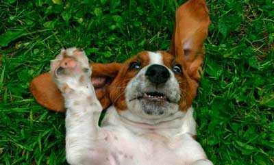 Бигль похожие породы собак фото