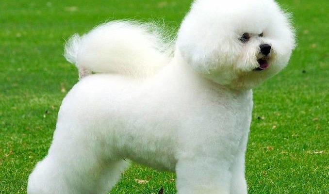 Бишон фризе 🐶 Фото, описание, характер, факты, плюсы, минусы собаки ✔