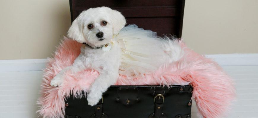 Мальтийская болонка: описание породы собак, цена щенков