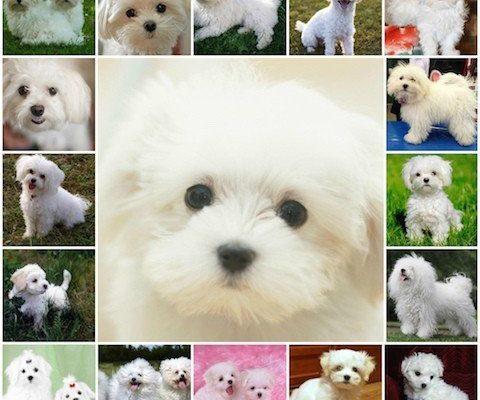 Болоньез (итальянская болонка) — фото и описание породы собак