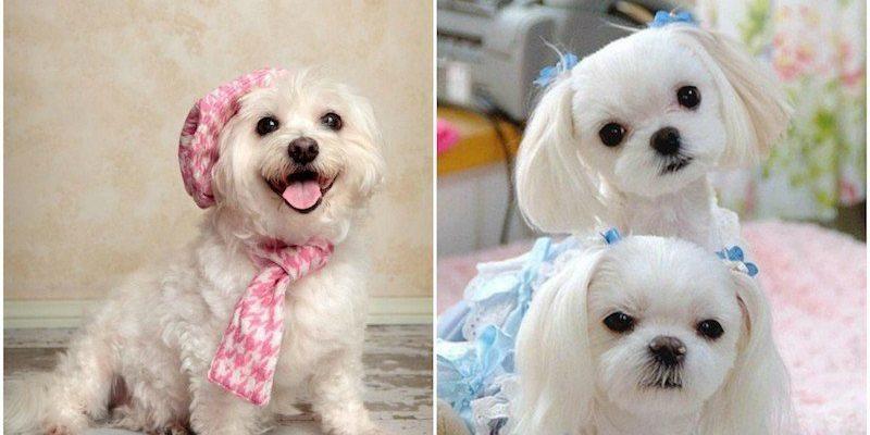 Порода собак болонка описание породы фото — черный мальтезе