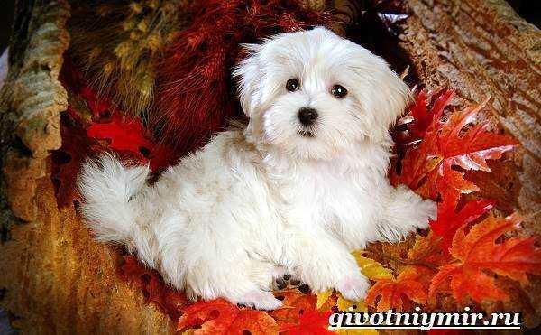 Собака болонка - описание, особенности, уход и цена