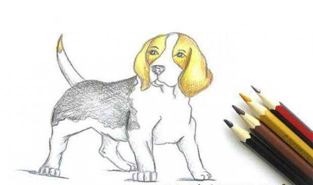 Бордер колли: дрессура самой умной породы собак и особенности ее воспитания (140 фото)
