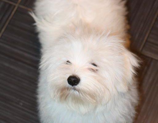 Как отбелить белую шерсть собаки ⋆ Собакапедия