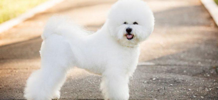 Купить Бишон фризе в России, Собаки, Животные на авито, olx, из рук в руки