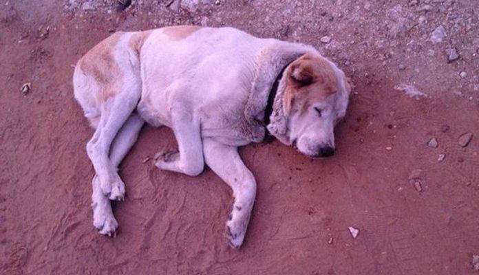 Волонтёры сделали невозможное, не дав умереть алабаю, который выглядел как скелет: фото до и после