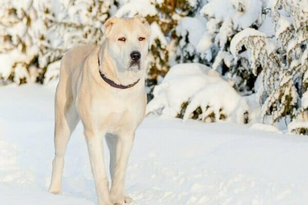 «Может ли какая-нибудь собака убить волка?» – Яндекс.Кью