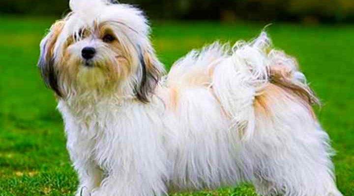 Гаванский бишон – фото, описание породы, цена щенка