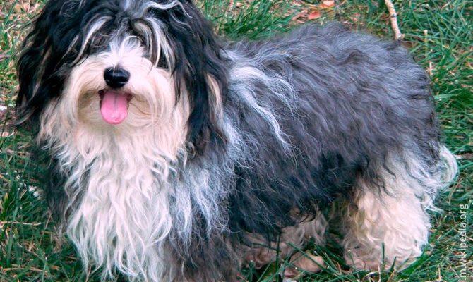 Гаванский бишон (Хаванез): все о собаке, фото, описание породы, характер, цена -