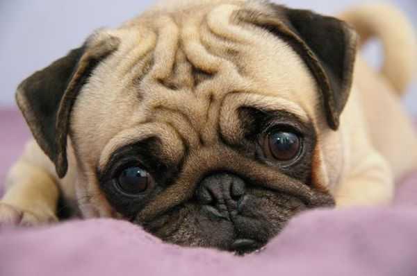 Глисты у собак (щенков): виды, симптомы, лечение в домашних условиях