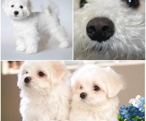 Все о итальянской болонке особенности собаки