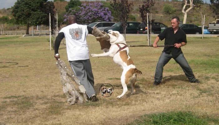 Дрессировка Алабая (Среднеазиатской овчарки) в домашних условиях: как воспитывать взрослую собаку и щенка с 1,2 месяцев