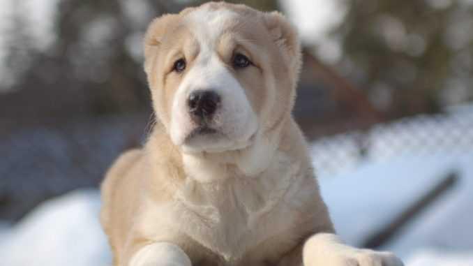 Кличка для мальчика-алабая: как назвать щенка -