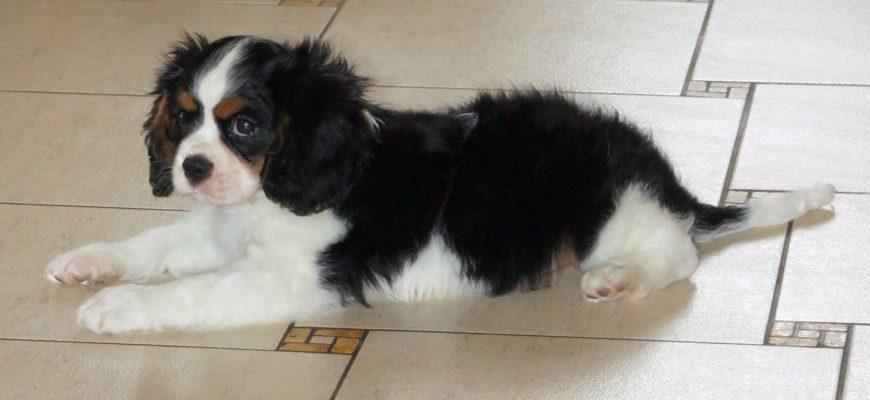 Самые маленькие породы собак с фото и названиями, ТОП 20