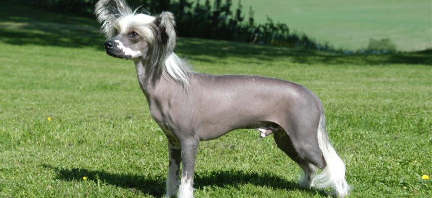 Китайская хохлатая собака: фото, цена, описание породы, характер
