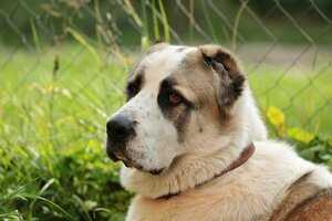 Сколько весит собака породы алабай
