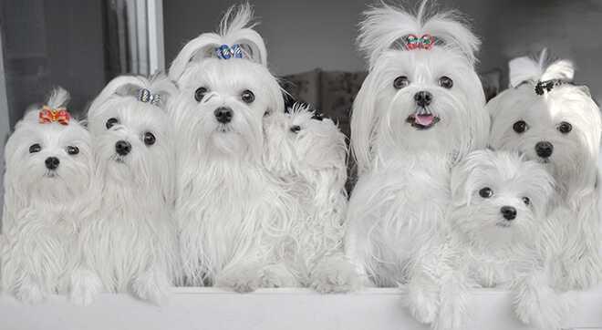 Мальтийская болонка (Мальтезе): фото собаки, плюсы и минусы, описание и характер породы, уход и содержание