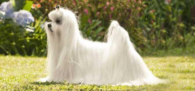 Мальтийская болонка: 75 фото породы, описание, цена собаки и щенка, возможные болезни, уход, дрессировка