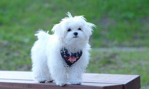 Мальтийская болонка: описание породы, характер собаки и щенка, фото, цена
