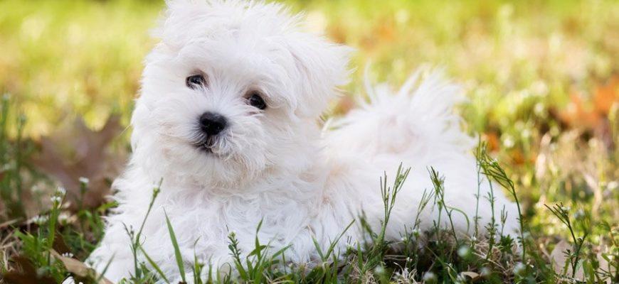 Мальтийская болонка (74 фото): описание и характер взрослой мини-болонки мальтезе. Сколько живут собаки такой породы? Щенки болонки мальтийский бишон, отзывы