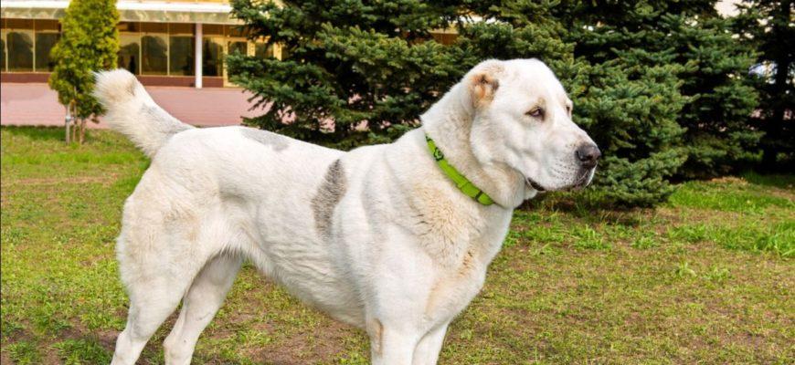 Характеристика казахского тобета: внешний вид, особенности содержания и ухода