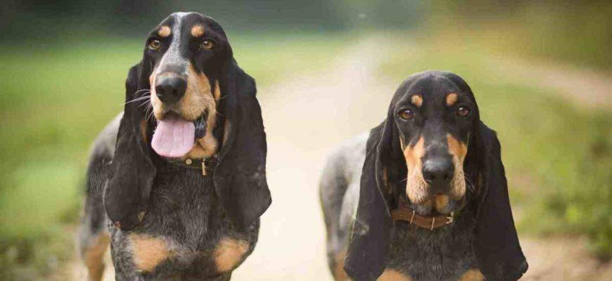 О породах собак №129. Бассеты, часть 2. Французские бассеты | Пикабу