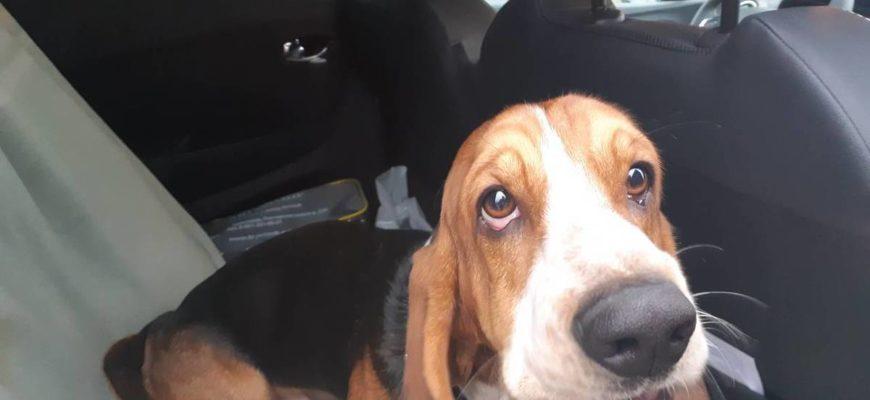 Ставрополь, найдена собака, бассет[Хозяин нашелся] | Пикабу