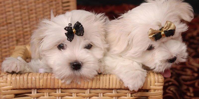 Мальтийская болонка: фото мальтийской болонки и описание этой породы собак.