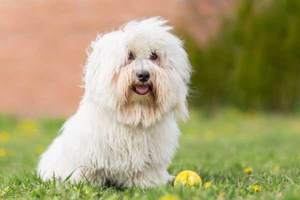 Бишон фризе: описание породы собак, цена, уход и содержание французских болонок