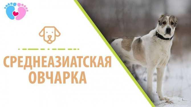 Собака туркменский алабай: особенности внешнего вида туркменских волкодавов