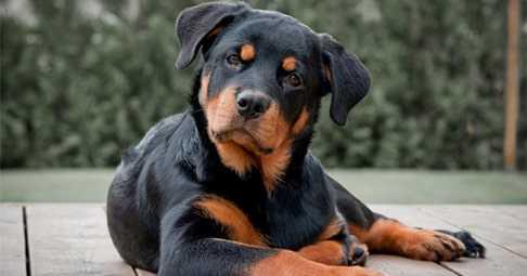 Ротвейлер - Порода собак - Информация и особенностях   Хиллс