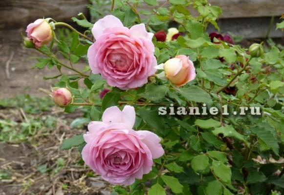 Роза Дарси Басселл - описание, как выращивать
