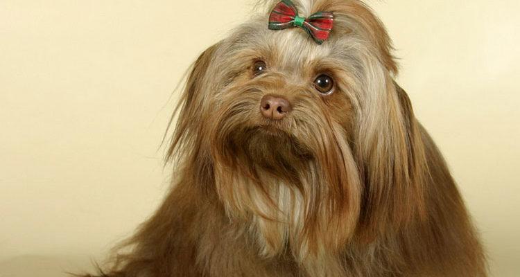 Русская цветная болонка-маленькая декоративная собачка-компаньон
