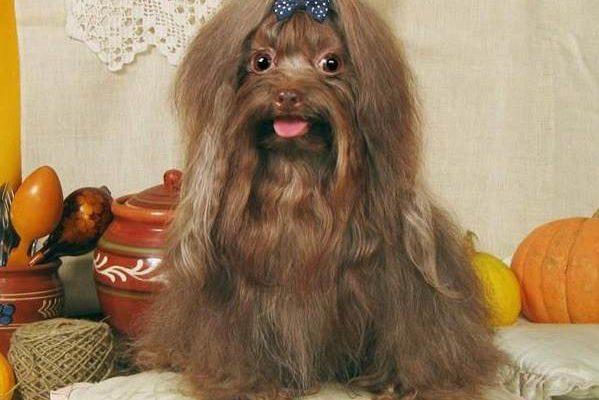 Собаки и щенки породы Болонки - купить в Серове из питомников и частные объявления о продаже щенков на КупиПродай