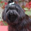 Русская цветная болонка: фото собаки, описание породы, цена щенков и уход