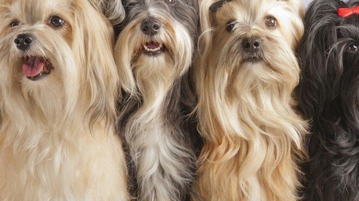 Описание русской цветной болонки: характер собаки, расцветки и советы по уходу