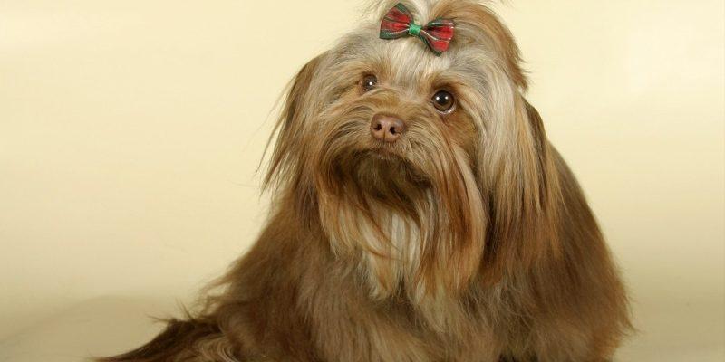 Мальтийская болонка: цена и фото взрослой собаки, стандарт и все описание породы мальтезе, сколько живут, как рассчитать вес, размеры, картинки