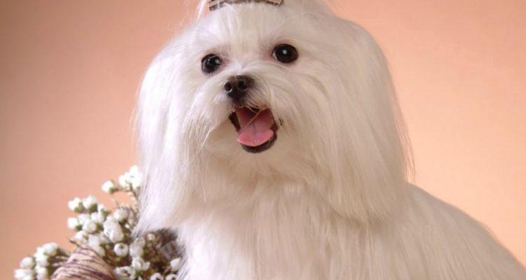 Мальтезе(Мальтийская болонка) Описание, плюсы и минусы, выбор щенка, питомники.
