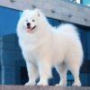 Самоедская лайка собака. Описание, особенности, уход и цена породы |