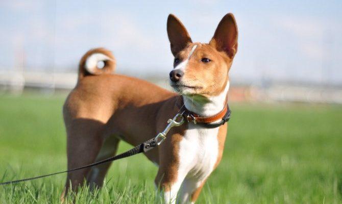 Басенджи: фото собаки, описание породы, цена щенков и уход