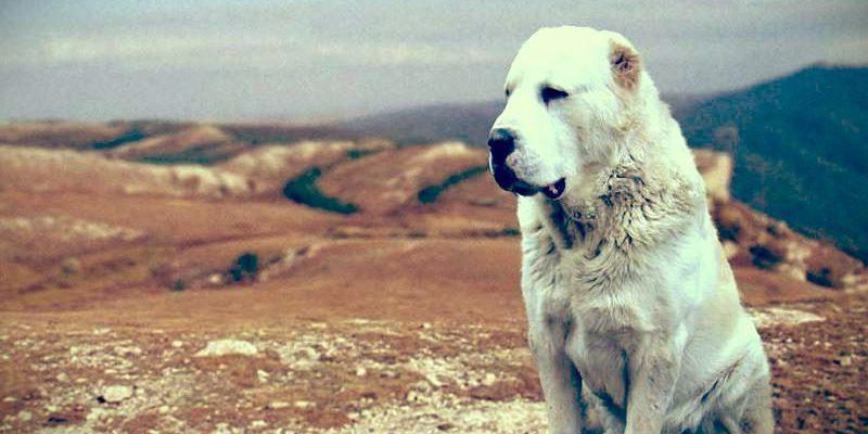 Воспитание среднеазиатской овчарки, дрессировка и воспитание среднеазиатской овчарки, как дрессировать щенка