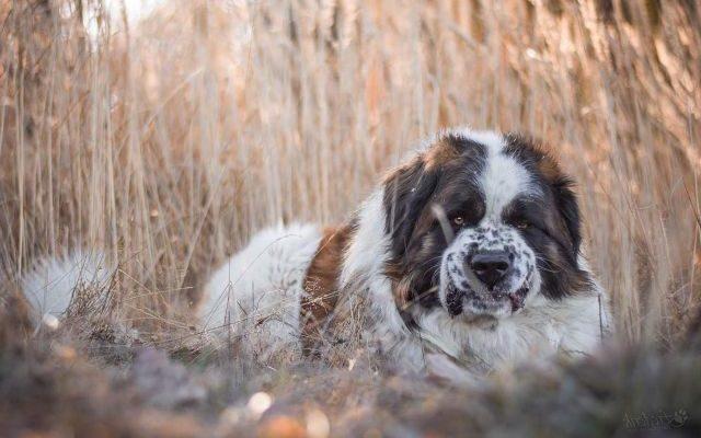 Самая лучшая сторожевая собака для частного дома