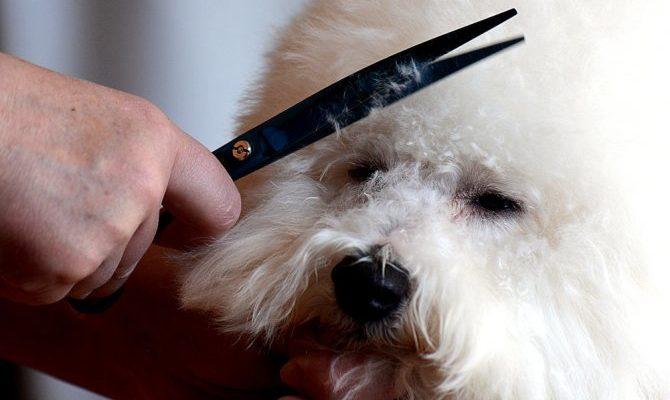 Как стричь собаку бишон фризе