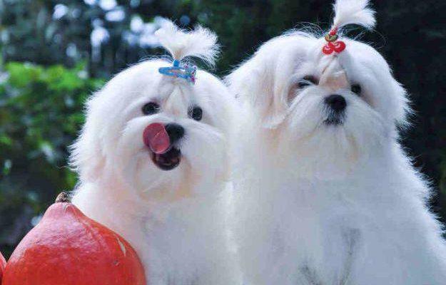Особенности стрижки мальтийской болонки – Puffy-Groom