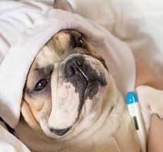 Какая нормальная температура у собак и как ее измерить в домашних условиях