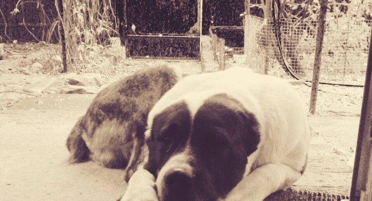 Алабай собака разновидности породы